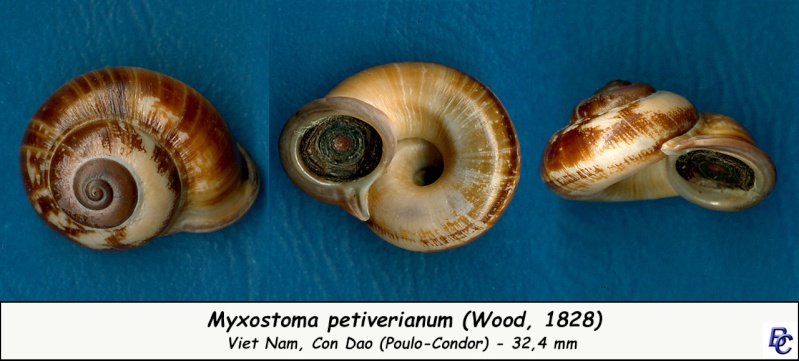 Myxostoma petiverianum (Wood, 1828) Myxost10