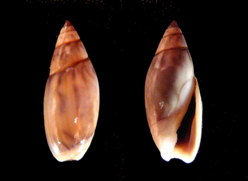 Olivella pedroana - (Conrad, 1856) Olivel15