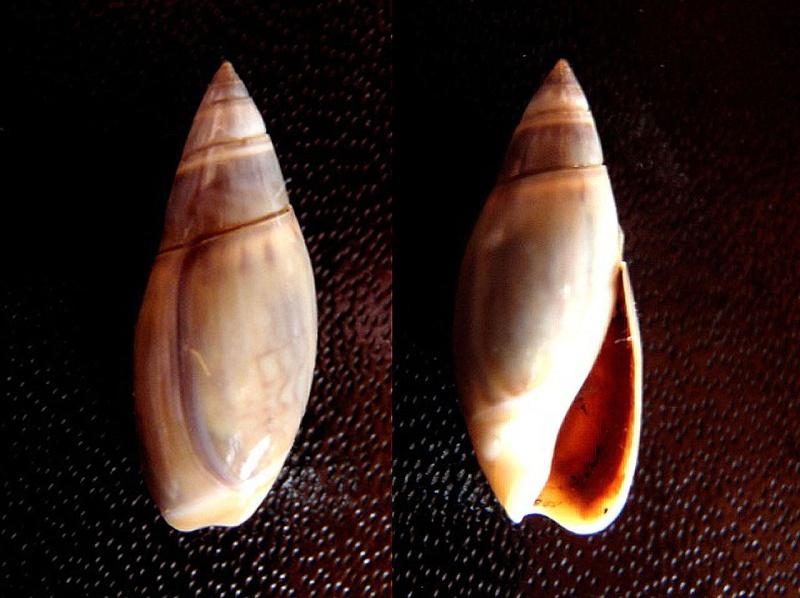 Olivella pedroana - (Conrad, 1856) Olivel16