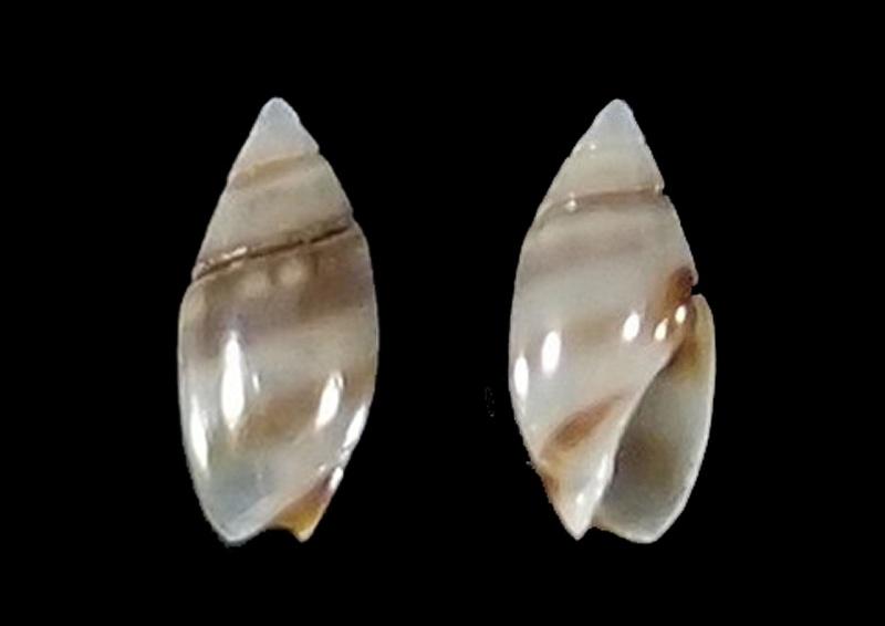 Olivella zonalis (Lamarck, 1811) ou Dactylidia zonalis (Lamarck, 1811) Olivel20