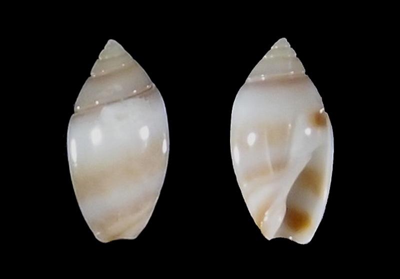 Olivella zonalis (Lamarck, 1811) ou Dactylidia zonalis (Lamarck, 1811) Olivel21