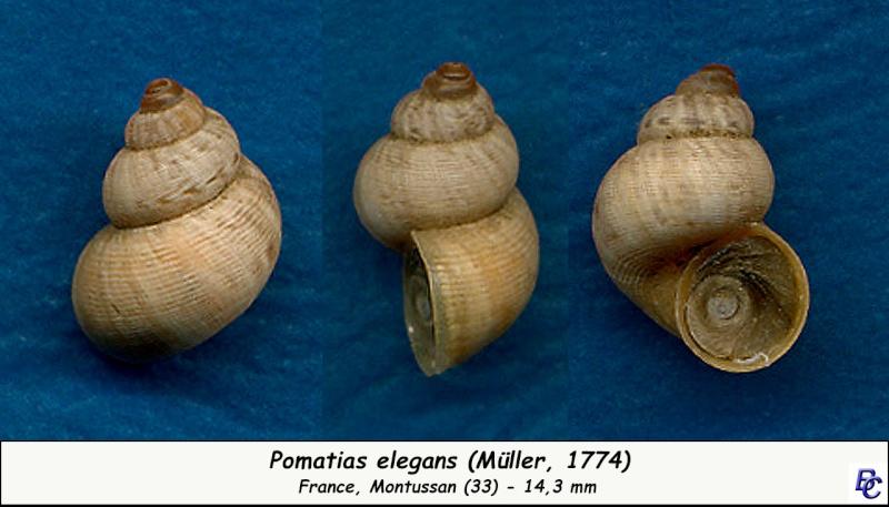 Pomatias elegans (O. F. Müller, 1774) - Page 3 Pomati10