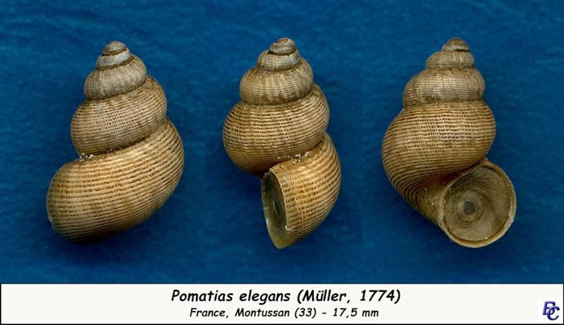 Pomatias elegans (O. F. Müller, 1774) - Page 3 Pomati12