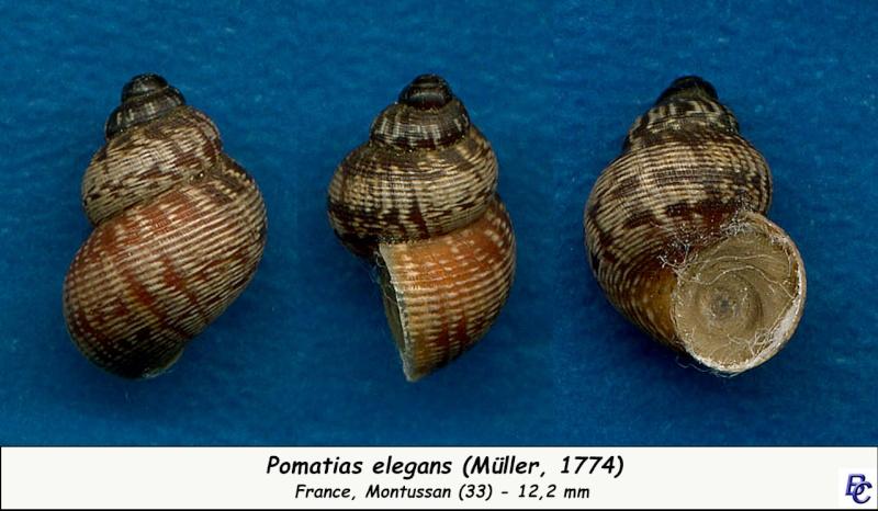 Pomatias elegans (O. F. Müller, 1774) - Page 3 Pomati13