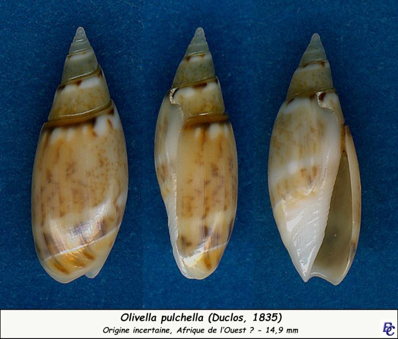 Olivella pulchella - (Duclos, 1835) Pulche10