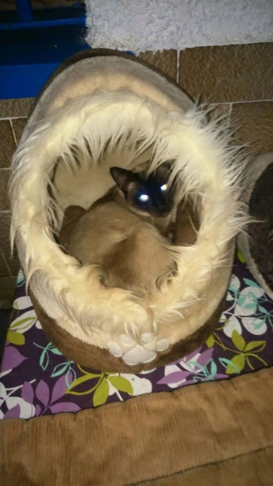 Canis Siamesita   Siames10