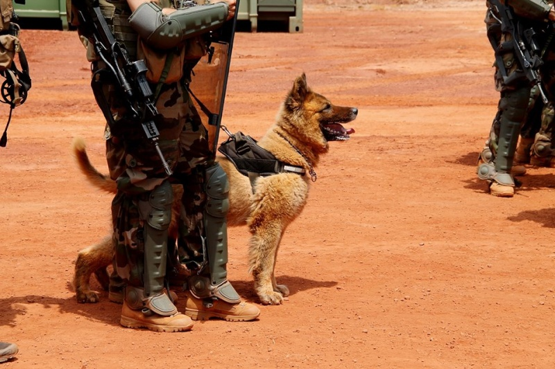 Animaux soldats - Page 5 1261