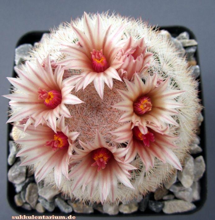 Mammillaria candida ssp. candida Bild_113