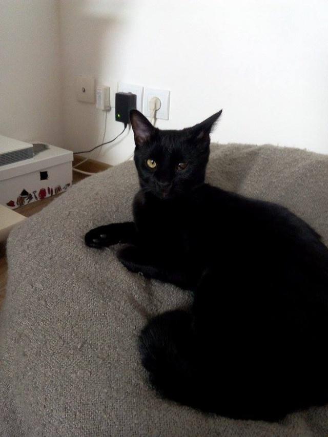 PERDU chat noir Avesnes sur Helpe (59) Sos_ch13