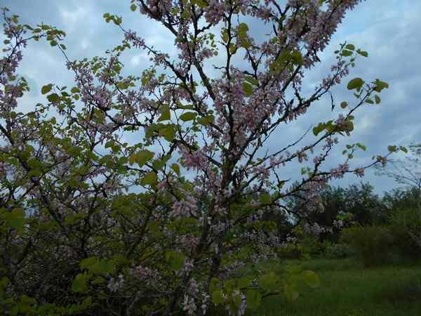 arbre de Judée........... Cercis siliquastrum Arbre_10