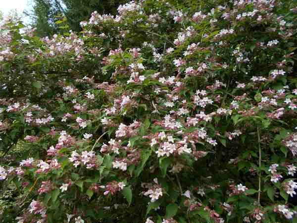 Koltwitzia Amabilis 'Pink Cloud' - Page 3 Kolkw11