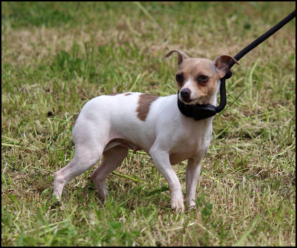 LOLYPOP chihuahua 2 ans 11159210