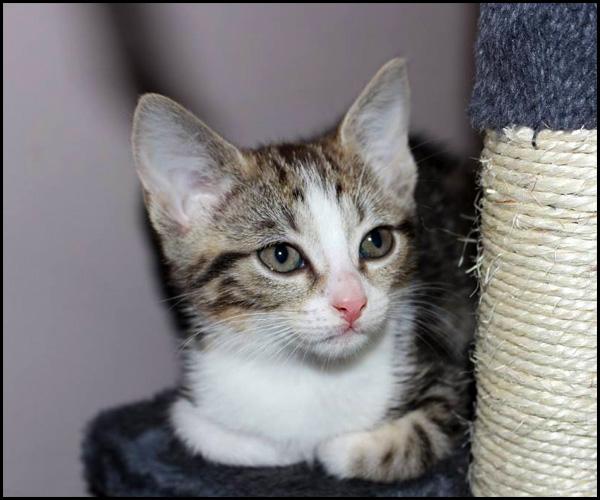 PISTACHE chaton à l'adoption 11293510