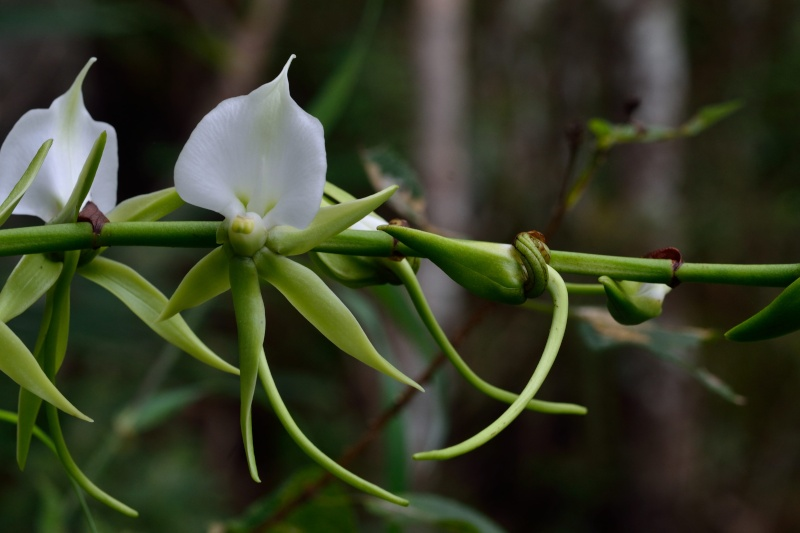 Angraecum eburneum Angrae10