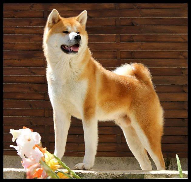Naissance d'Akita Inu pour le mois de mai !  10653410