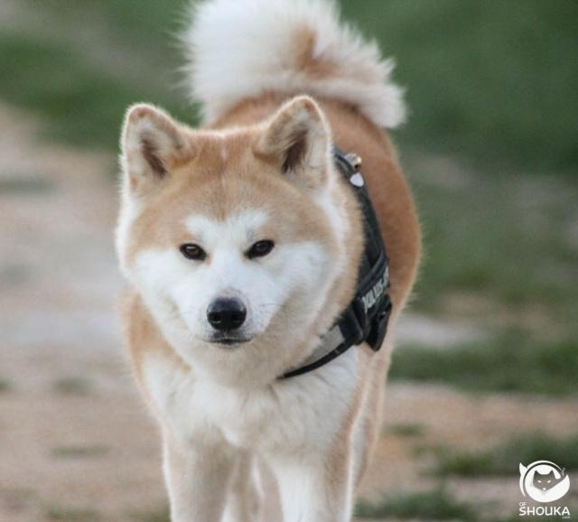 Naissance d'Akita Inu pour le mois de mai !  Img_5711