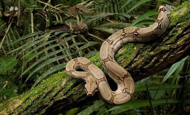 [Fiche] Boa constrictor  Corps_10