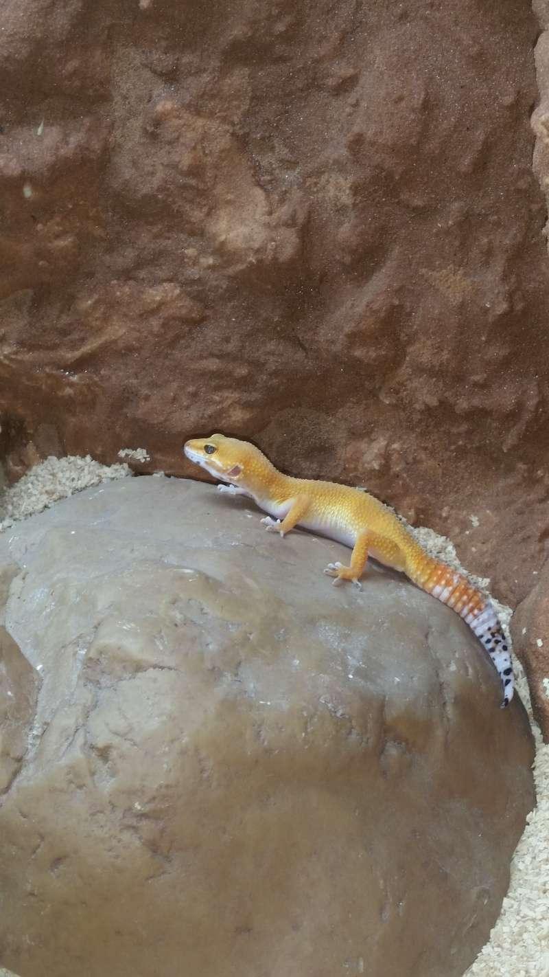 terarium gecko leopard 20150511