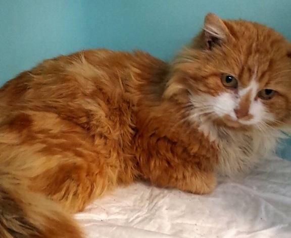 Chat mâle accidenté fourrière RP 11139610