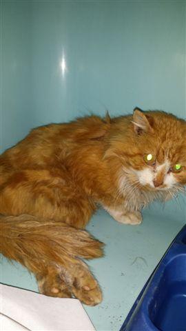 Chat mâle accidenté fourrière RP 460610