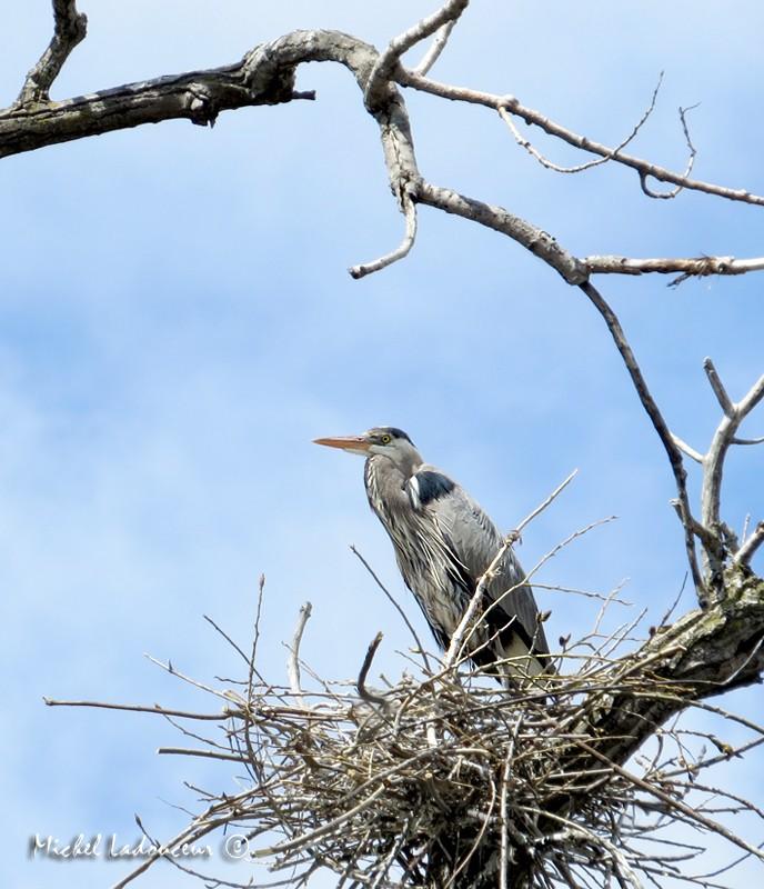 grand héron (au nid) Hyron10