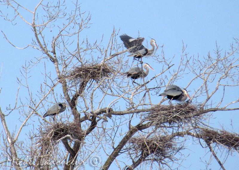 hérons aux nids (2 photos) Hyrona10