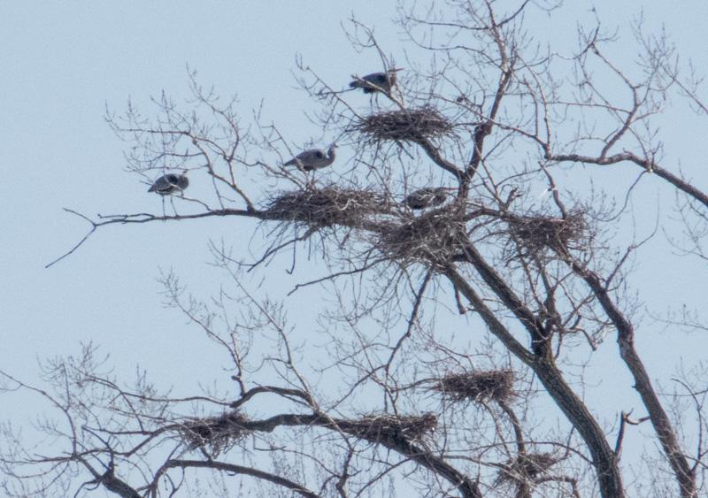hérons aux nids (2 photos) Hyronn10