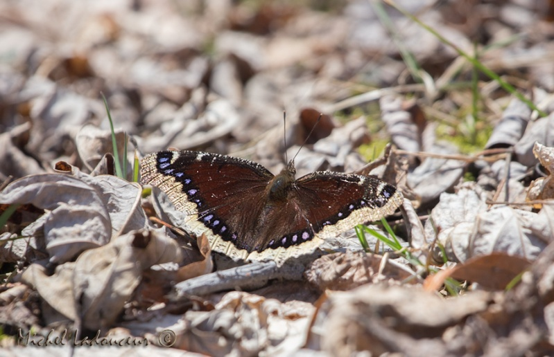 papillon... Papill10