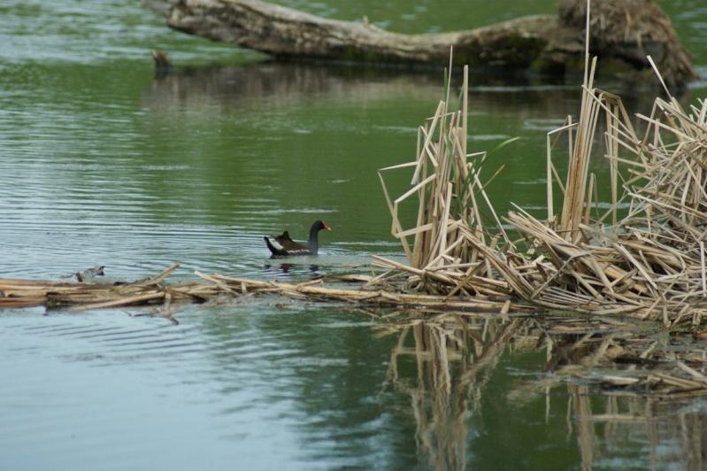 Gallinule poule-d'eau Parc_d41