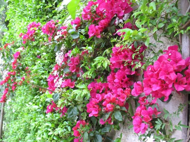 J'aime les jardins - Page 2 Bougai11