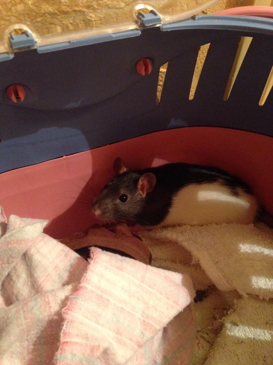 Petite ratte ABANDONNEE dans la rue cherche maison Image214