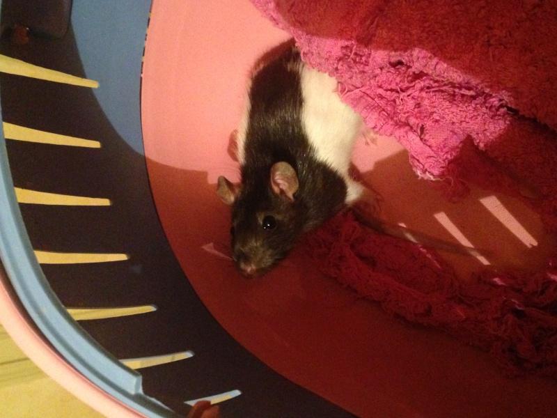 Petite ratte ABANDONNEE dans la rue cherche maison Image311