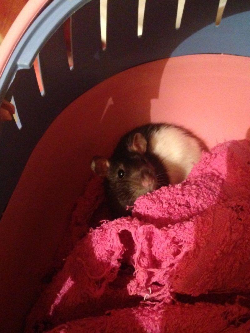 Petite ratte ABANDONNEE dans la rue cherche maison Sans-t10