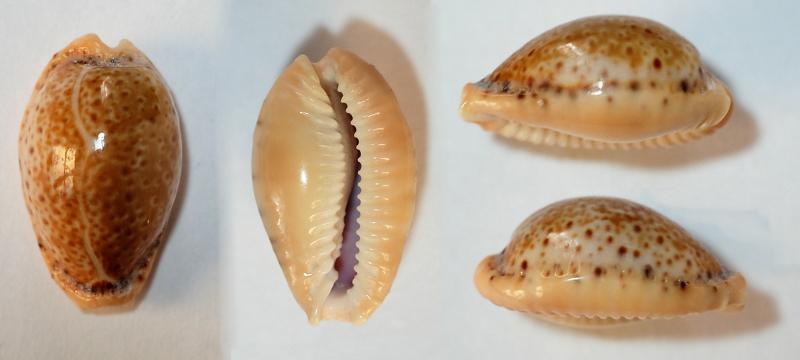 Cypreae oui mais laquelle ? = Erosaria spurca spurca _10
