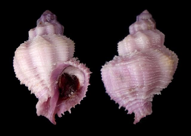 Coralliophila bulbiformis - (Conrad, 1837)  Bulbif10