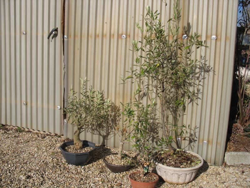 les oliviers de Marie Olivie10