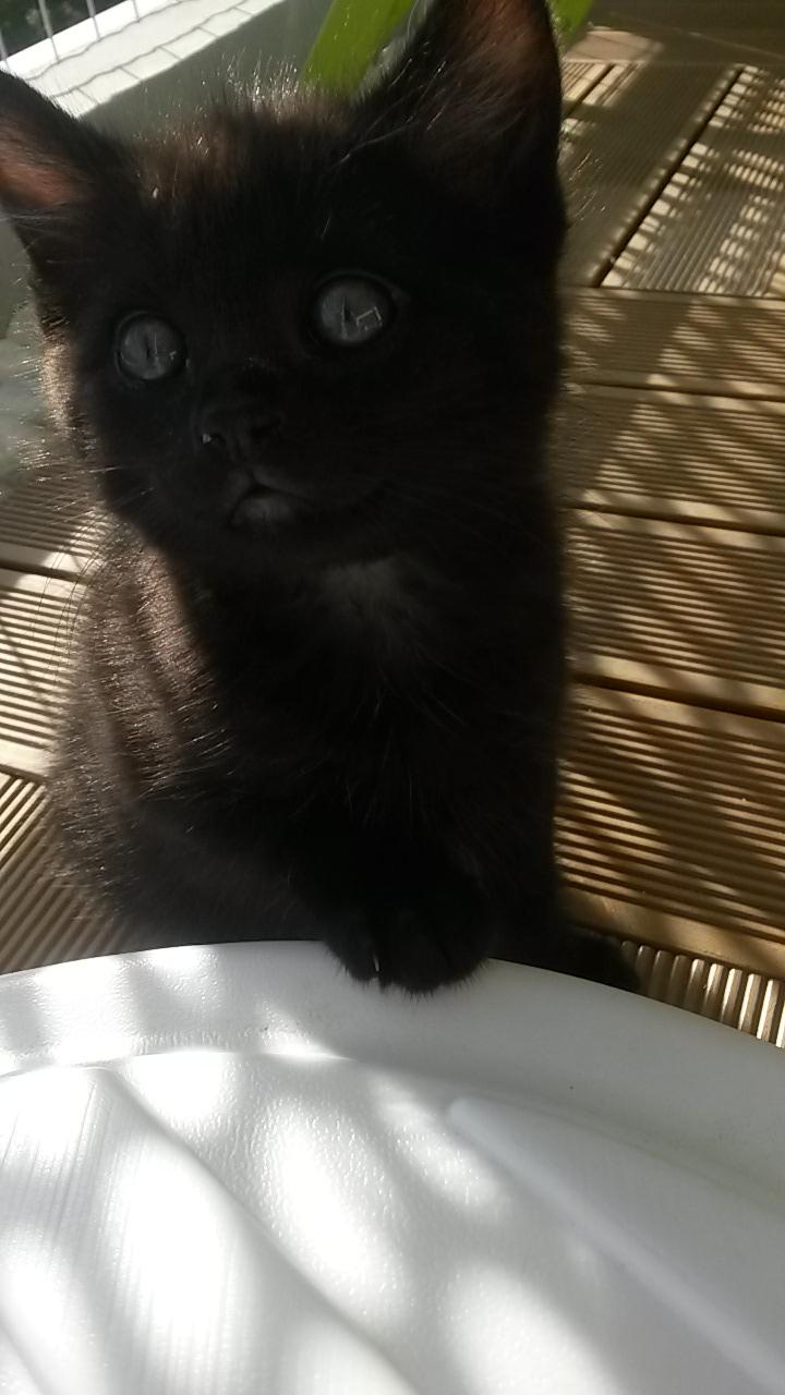 Lutzi, mâle type européen noir estimé né 01/03/2015 20150515