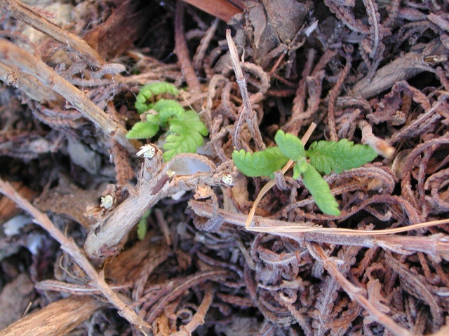 rusticité des Lavendula hybrides Lavand10