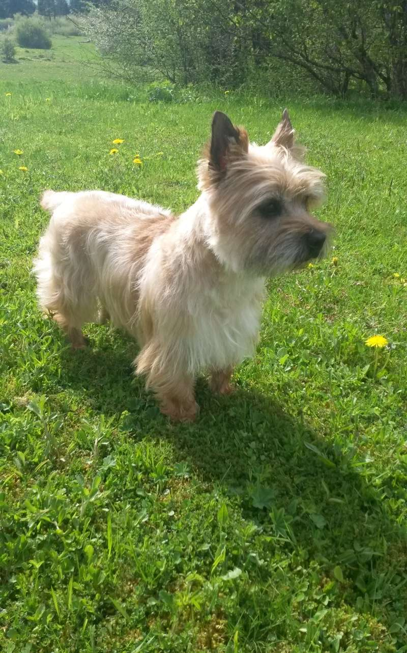 cairn terrier lof a placer d urgence!! Chips11