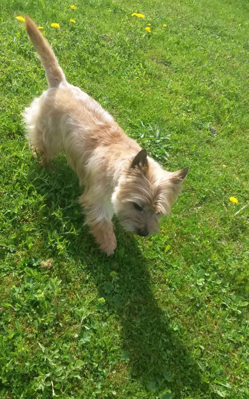 cairn terrier lof a placer d urgence!! Chips_10