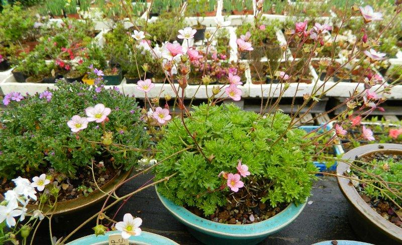 Mes Satsuki- Mes Fleurs - Page 9 Plante14