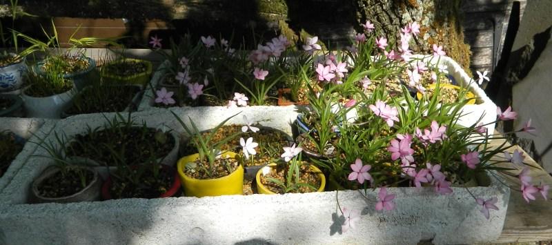 Mes Satsuki- Mes Fleurs - Page 9 Rhodoh10
