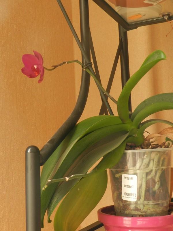 Floraison maison de phalaenopsis! Dscn5610