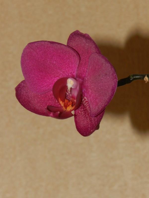Floraison maison de phalaenopsis! Dscn5611