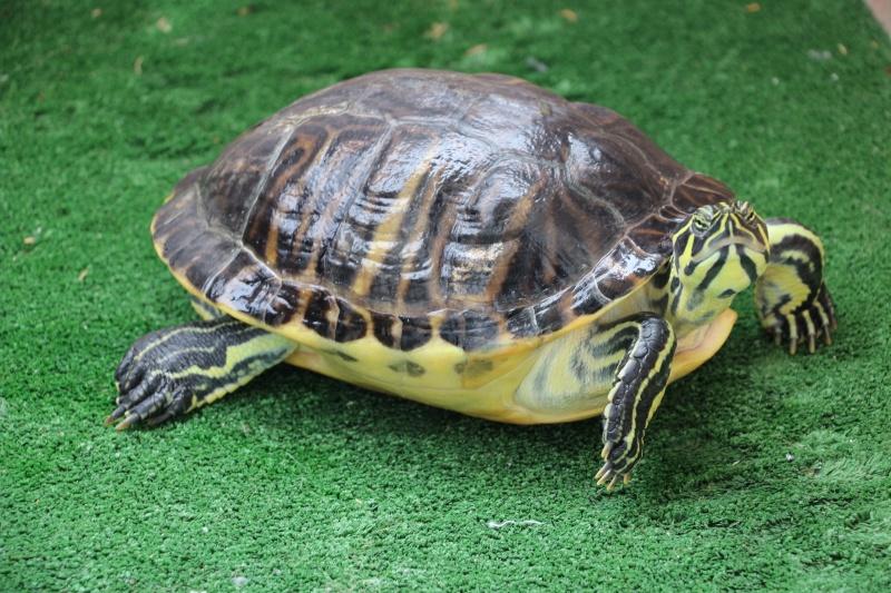 Des nouvelles d'HP ma tortue genial 13ans aujourdhui !!!! Img_5111