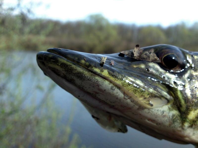 Fotografije ulova, ribe, oprema i dr. Musa_s10