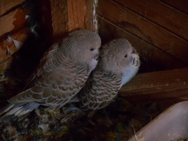mes premiers bébés perruches anglaises sortis du nid Dscn0914