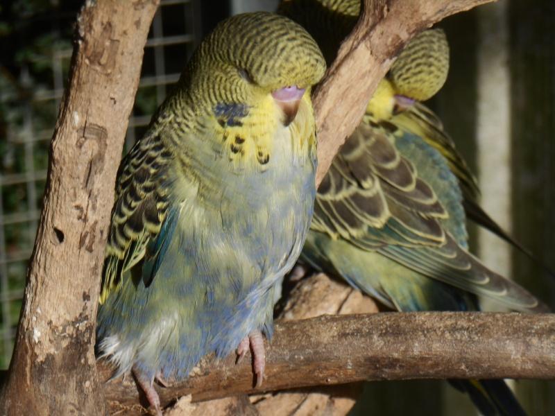 3 bébés ondulées de posture sorties du nid Dscn0920