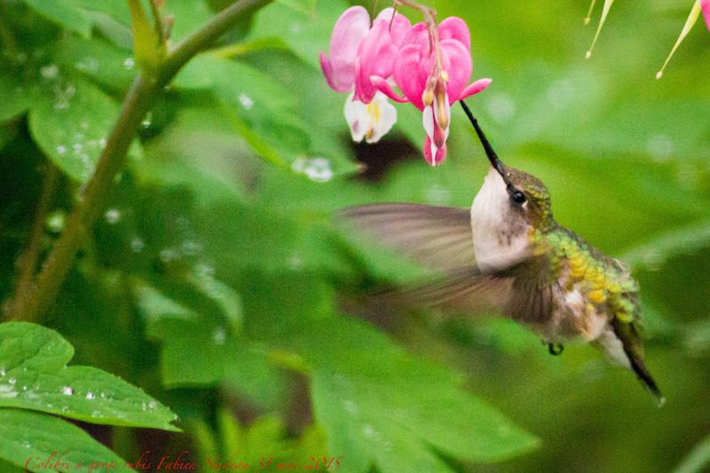 Colibri à gorge rubis Img_2512