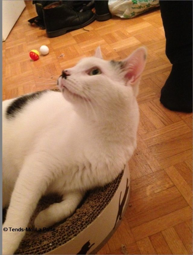 CHAT A ADOPTER : HALLY - chat mâle de 5 ans Image312